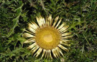 Eguzkilore O Flor Del Sol
